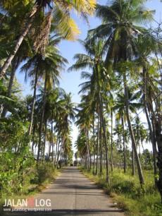 Deretan pohon kelapa